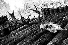 Animal skull. In black and white at a viking castle royalty free stock photography