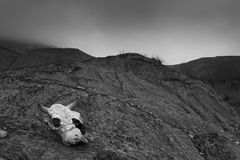 Animal skull in cracked dry mud Royalty Free Stock Photo