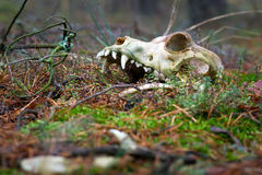 Animal skull in dark forest Stock Image