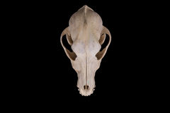 Animal skull. Stock Photos