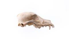 Animal skull. Royalty Free Stock Photos