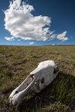 Animal skull in a field against a blue sky Stock Image