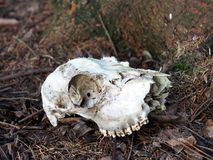 Animal skull. In the forest royalty free stock photos