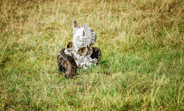 Animal skull found on the grass of Masai Mara Game Park reserve, Stock Photo