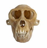 Animal skull front view Stock Photography