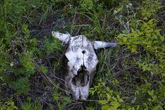 Animal skull in grass. A bullet hole. Roe animal skull. A bullet hole in the skull Stock Image
