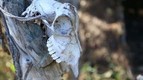 Animal skull hanging on the wooden stick stock video footage