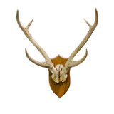 Animal skull with horn Royalty Free Stock Image