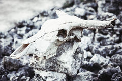 Animal skull with horns on gray stones rocks. Grungy background Stock Photography