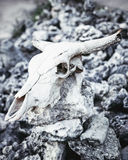 Animal skull with horns on gray stones rocks. Grungy background Stock Photo