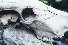 Animal skull with horns on gray stones rocks. Grungy background Royalty Free Stock Photo