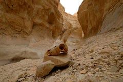 Animal skull in Judea desert deep gorge. Royalty Free Stock Images