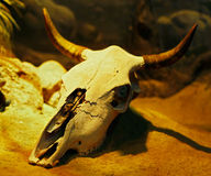 Animal skull Stock Photography