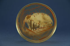 Animal skull looked through petri dish with red bacterial colonies. Fox skull disposed behind of petri dish with red bacterial colonies on the blue background Royalty Free Stock Photo