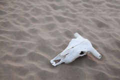 Animal skull lying on the sand in the middle of the desert Stock Images