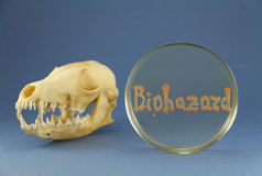 Animal skull near petri dish with orange bacterial biohazard inscription. Fox skull disposed near petri plate with biohazard inscription maded up by living Royalty Free Stock Image