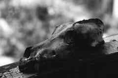 Animal skull picture. Animal skull dark picture bw royalty free stock image