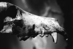 Animal skull picture. Animal skull dark picture bw stock photography