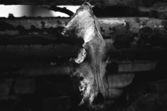 Animal skull picture. Animal skull dark picture bw stock photo
