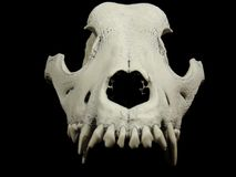 Front shot of the dog skull without lower jaw Stock Photography