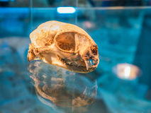Animal skull with reflect shado. W on blue background Royalty Free Stock Image