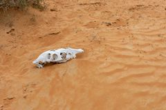 Animal Skull in the Rippling Sand Dunes. White Animal Skull in the Rippling Sand Dunes in the desert of the United Arab Emirates royalty free stock photography