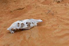 Animal Skull in the Rippling Sand Dunes. White Animal Skull in the Rippling Sand Dunes in the desert of the United Arab Emirates stock photography