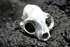 Animal skull on rocks Stock Photo