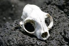 Animal skull on rocks Stock Photo