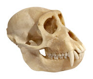 Animal skull side view Royalty Free Stock Photos