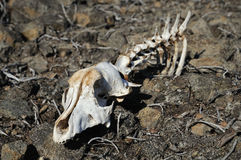 Animal skull on stones. Part of a skeleton of an animal in stony desert Stock Photography