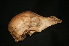 Animal Skull Stock Images