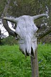 Animal skull on the tree. Skull of the dead animal hanging on the tree Stock Image