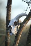 Animal skull on the trees Royalty Free Stock Image