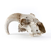 Animal skull  on white Stock Images