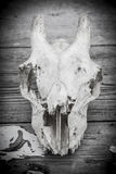 Animal skull. Royalty Free Stock Photography