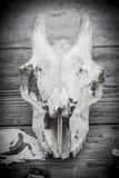 Animal skull. Royalty Free Stock Photography
