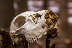 Animal skull. Stock Images