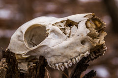 Animal skull. Royalty Free Stock Photos