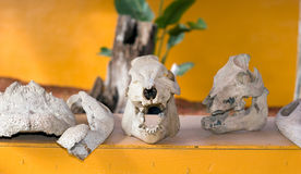 Animal Skulls. On exhibit on the Indian Reservation Royalty Free Stock Photos