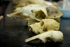 Animal Skulls 5 Royalty Free Stock Photography