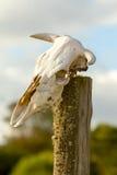 Animal Skulls On Totem Royalty Free Stock Photography