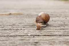Animal slow. Snail crawling slowly on the concrete floor. Lazy lifestyle of snails Stock Photography