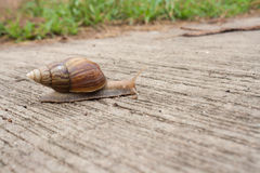 Animal slow. Snail crawling slowly on the concrete floor. Lifestyle at a slower pace of a snail Stock Images