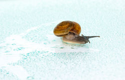 Animal slow. Snail on a glass surface with water drops. Life moves pretty slow by nature Stock Photo