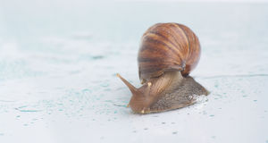 Animal slow. Snail on a glass surface with water drops. Life moves pretty slow by nature Stock Photos