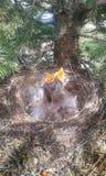 Animal, wilderness, mountines, borns royalty free stock photo