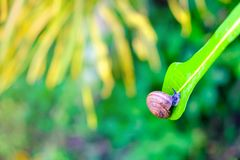 Snail on green royalty free stock photo