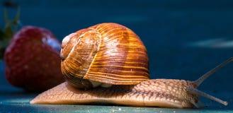 Animal, Snail, Shell, Probe, Crawl Stock Image