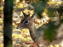 An animal sneaks through the undergrowth in the forest.  Stock Photos